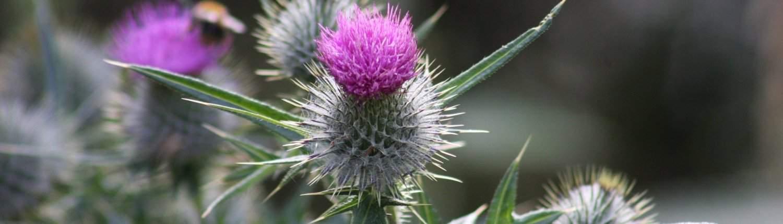 photo of Scottish thistle