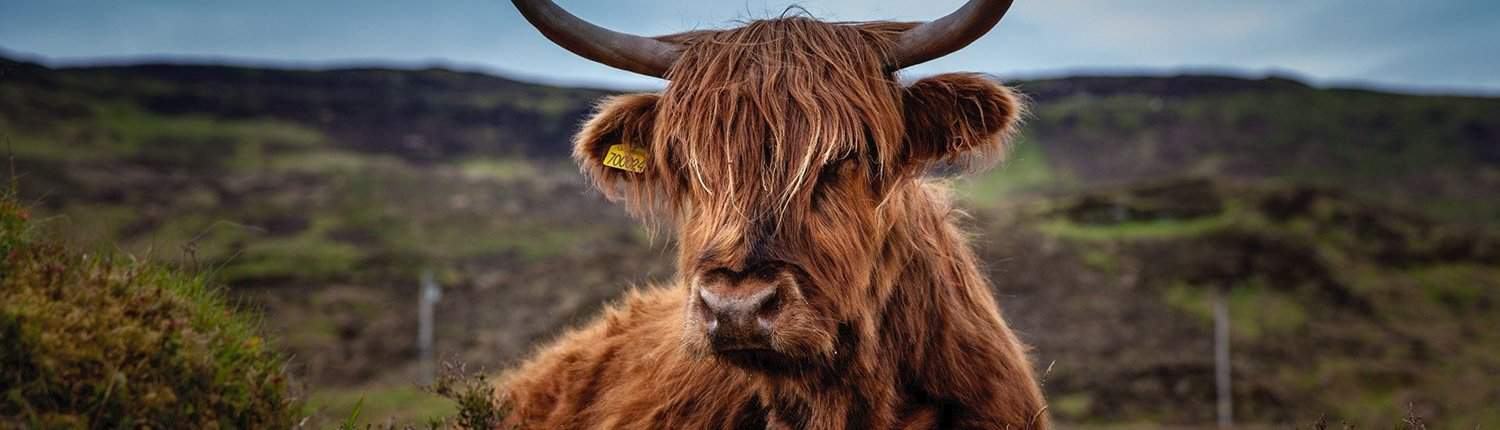photo of Highland Coo